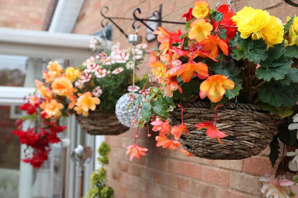 beautiful begonia flowers in hanging baskets