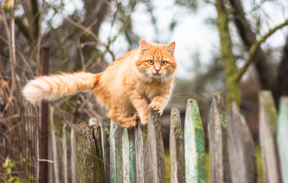 cat walking on old wooden fence