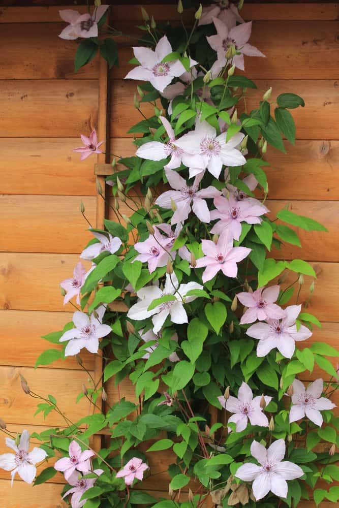 clematis flowers on wooden trellis