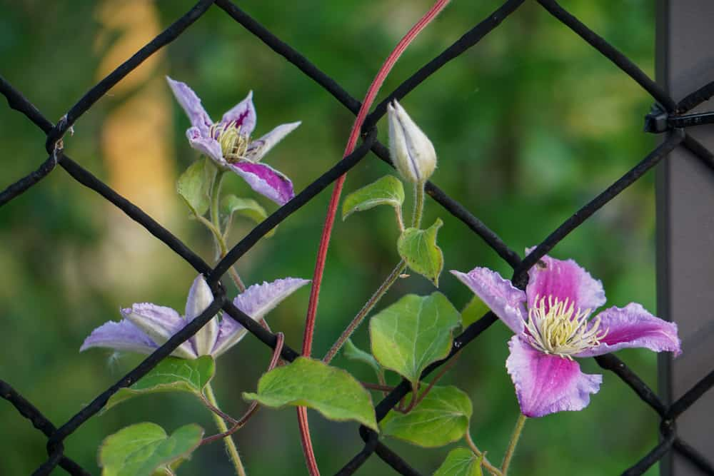 clematis wire fence