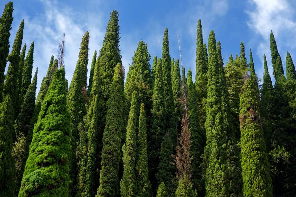 cypress tree wall