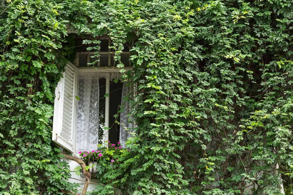 english ivy covering walls