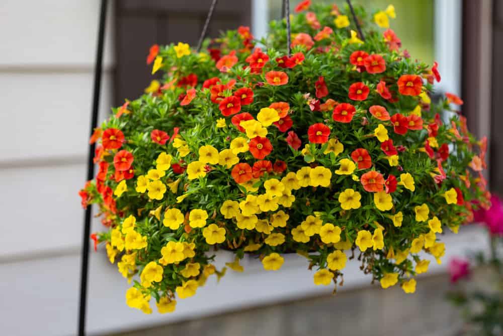 hanging basket of million bells flowers
