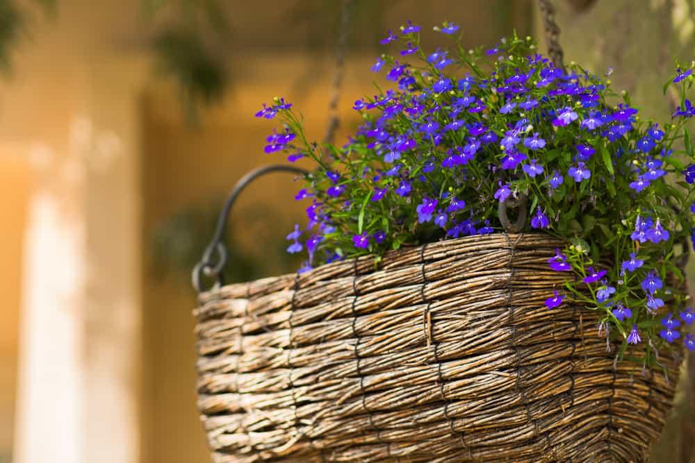 hanging wicker basket with blue Lobelia flowers