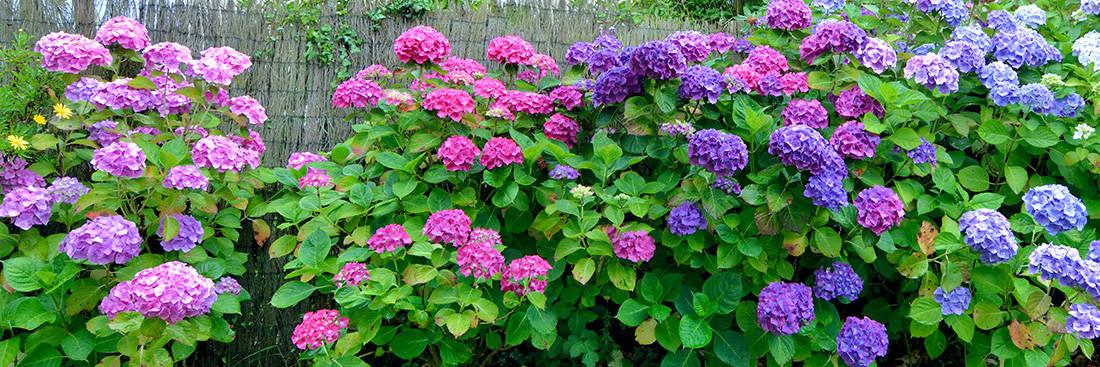 hydrangea macrophylla flowers