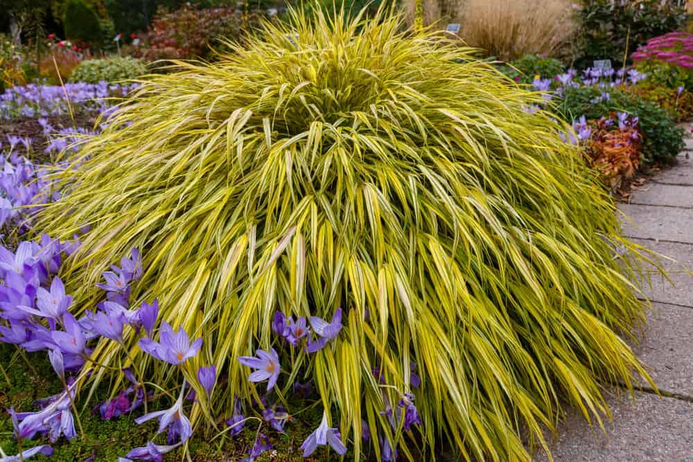 japanese forest grass hakonechloa macra