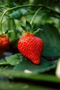 Will Strawberries Climb Trellis? 1