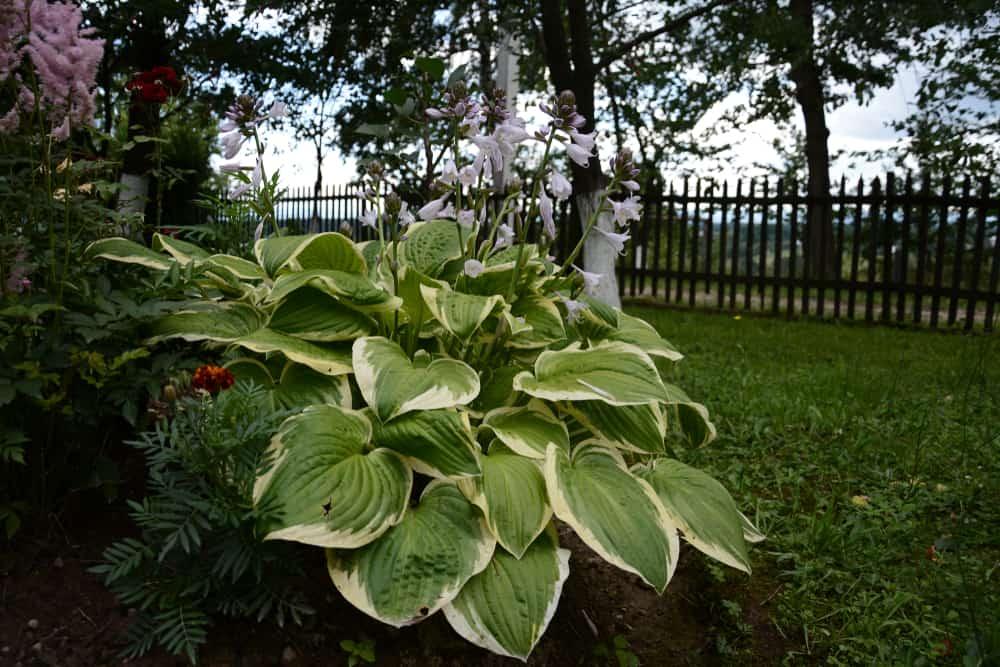 plantain lilies hosta giboshi