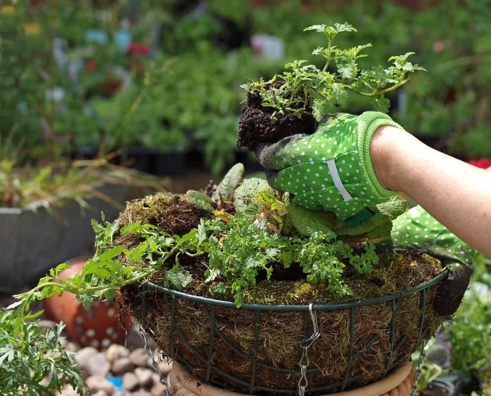 planting a hanging basket with young flowers