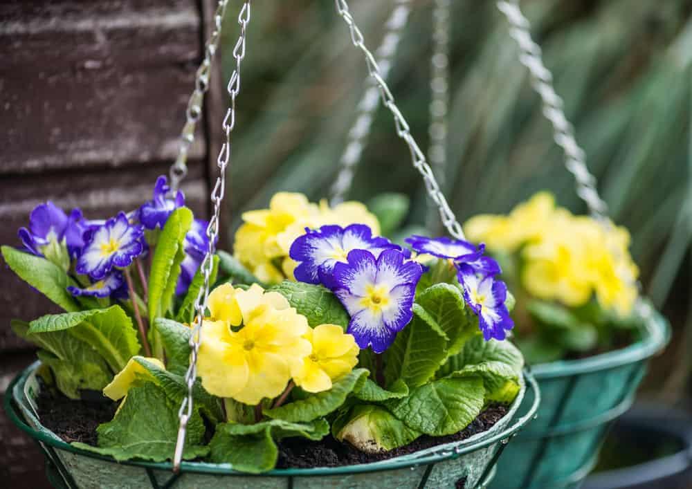 primrose in hanging baskets
