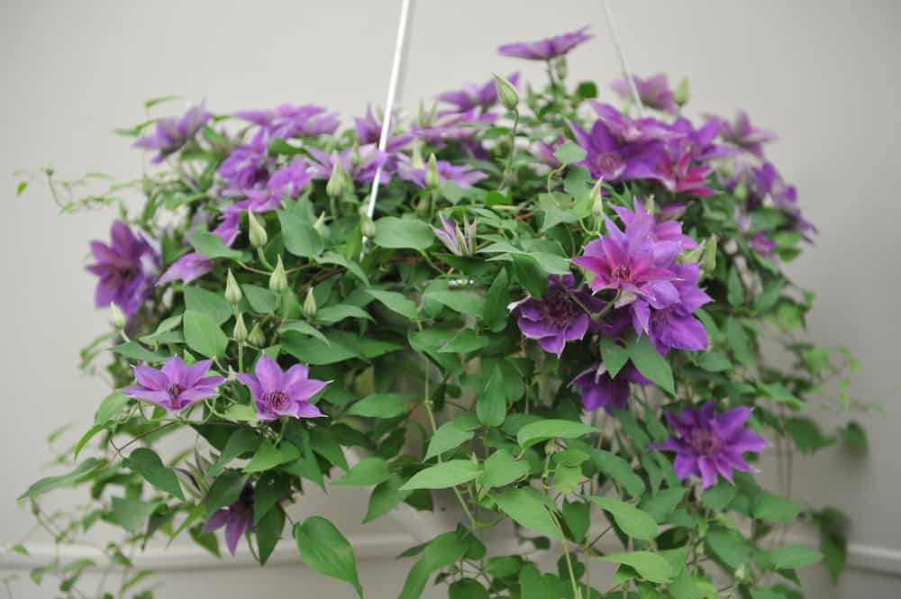 purple large-flowered Clematis blooms in a hanging basket