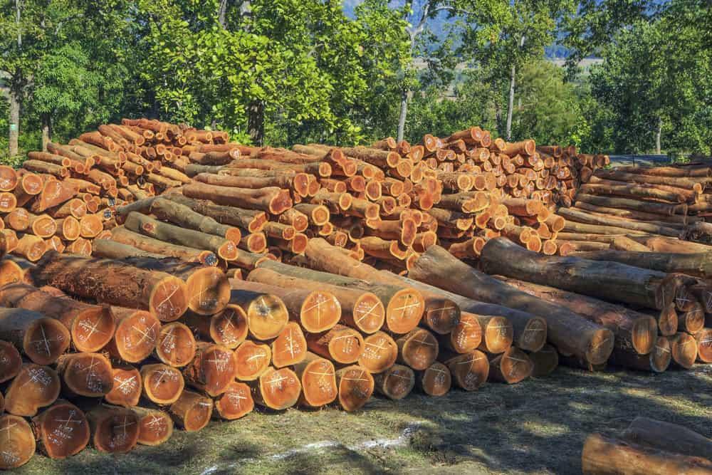 shorea tree trunks