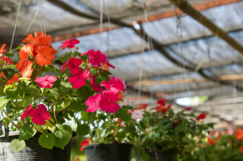 How To Grow Annuals In A Hanging Basket 1