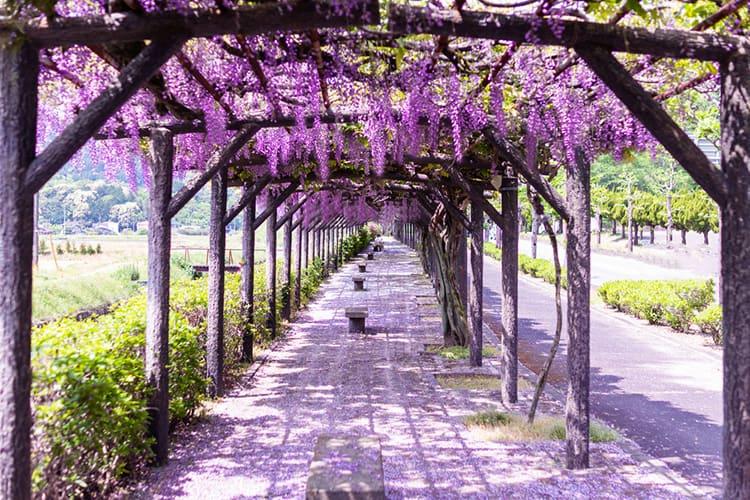 trellis wisteria
