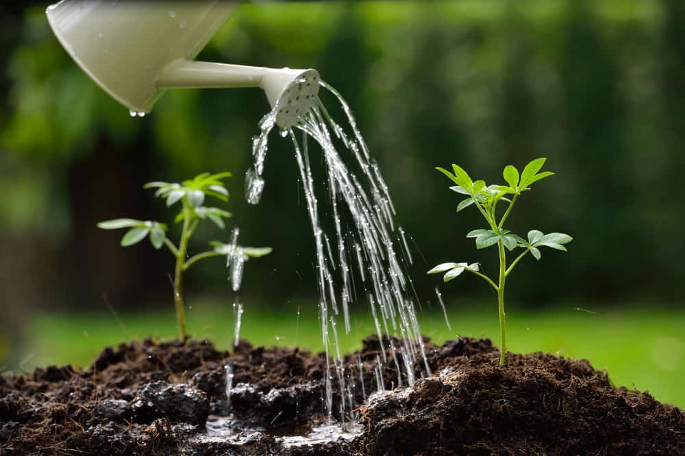 watering sprouts