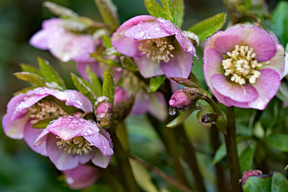 winter flowering hellebores