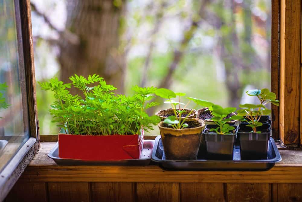 indoor herbs on window sill