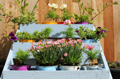 pink dianthus flowers blooming in coloured buckets in a blue wooden tier planter