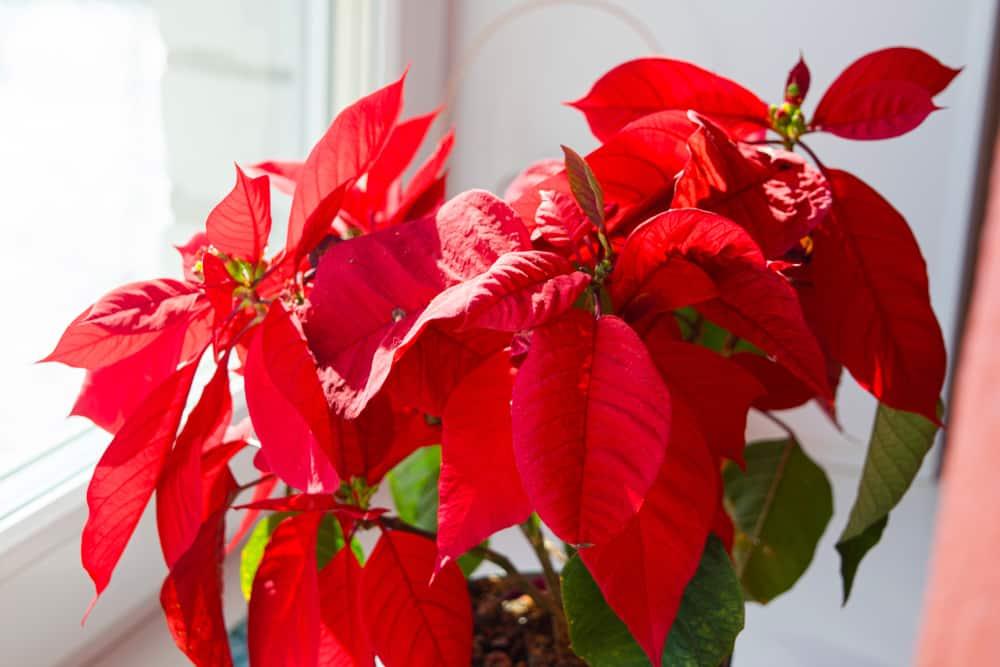 Beautiful poinsettia in flowerpot. Red christmas flower on the windowsill