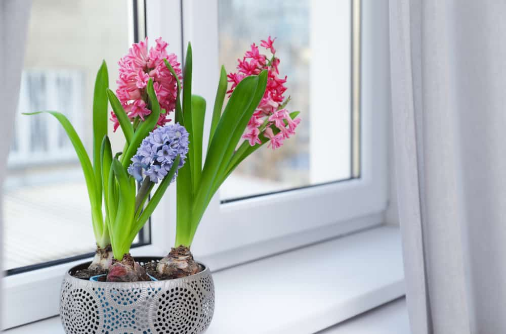 Blooming spring hyacinth flowers on windowsill at home