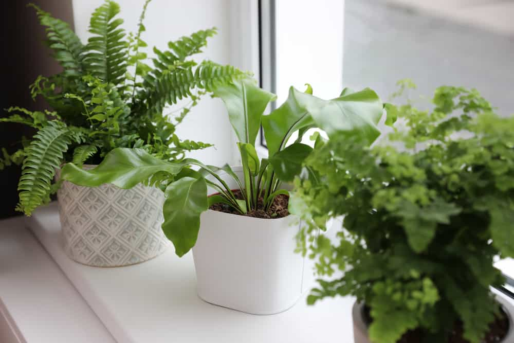 Different beautiful ferns in pots on white window sill