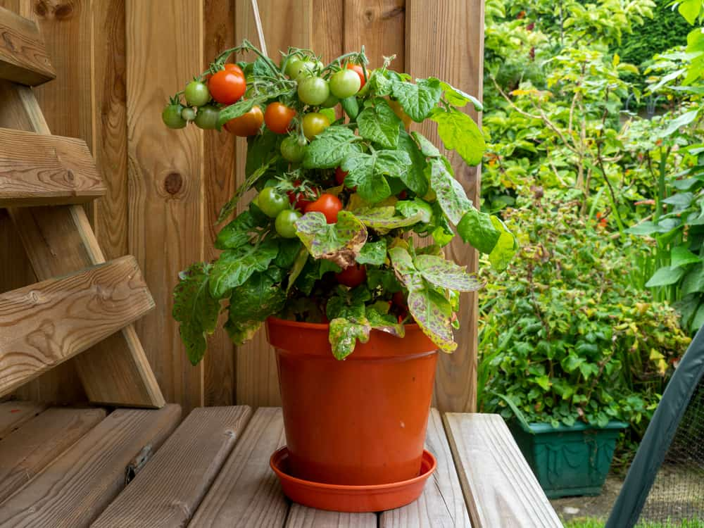 Dwarf tomato plant in a pot with ripe and unripe tomatoes