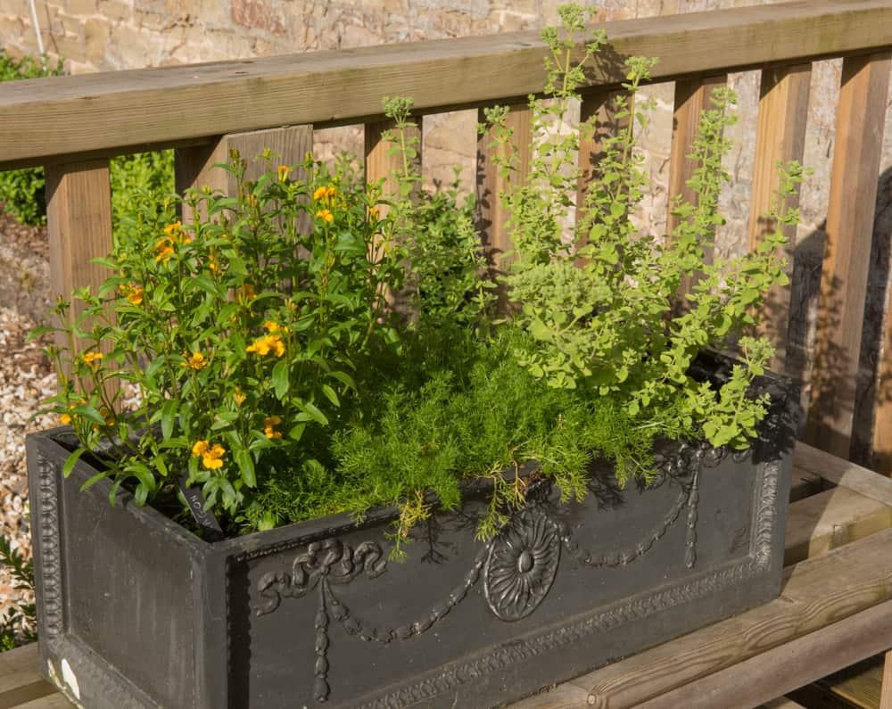 Ornate Planter with Home Grown Organic Herbs (Tarragon, Chamomile and Oregano)