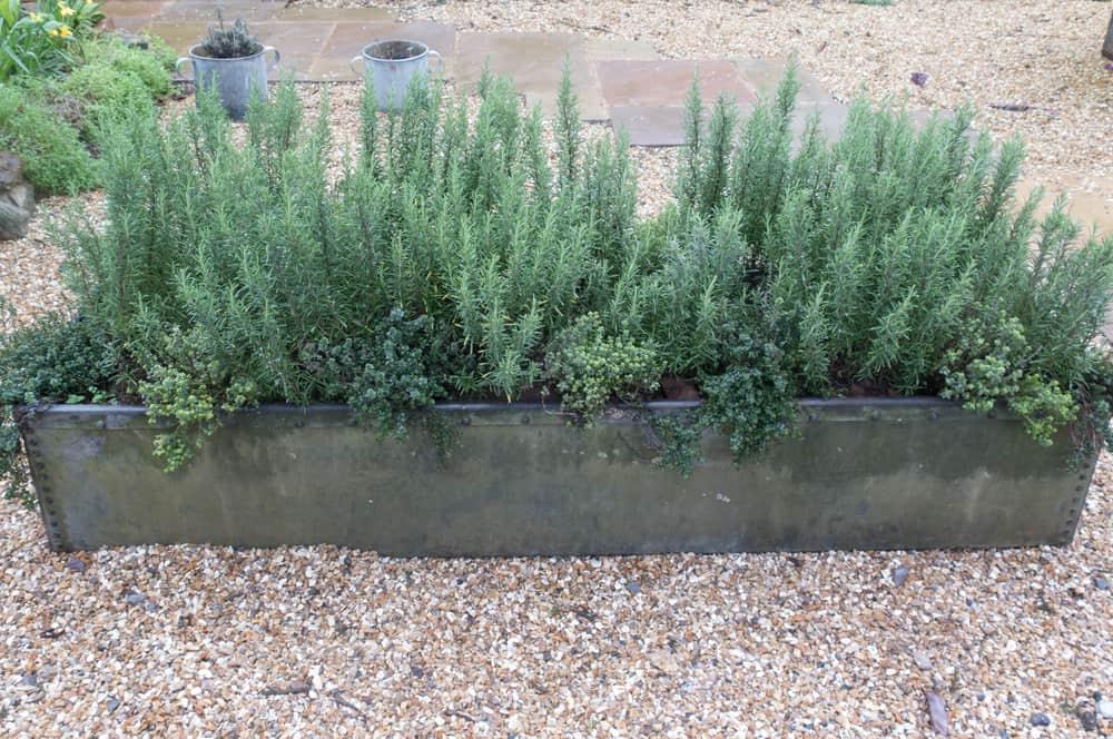 Rosemary (Salvia rosmarinus) and Thyme (Thymus vulgaris) Herbs Growing in a Metal Planter
