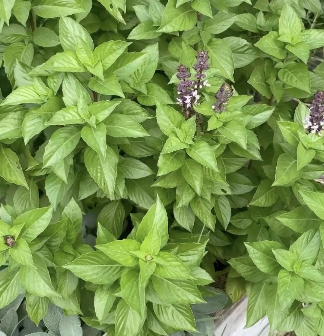 basil planter box