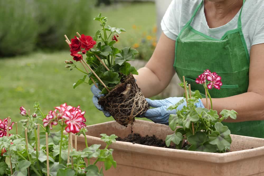 close up of woman potting geranium flowers