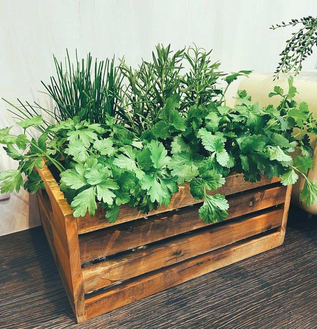 coriander planter box