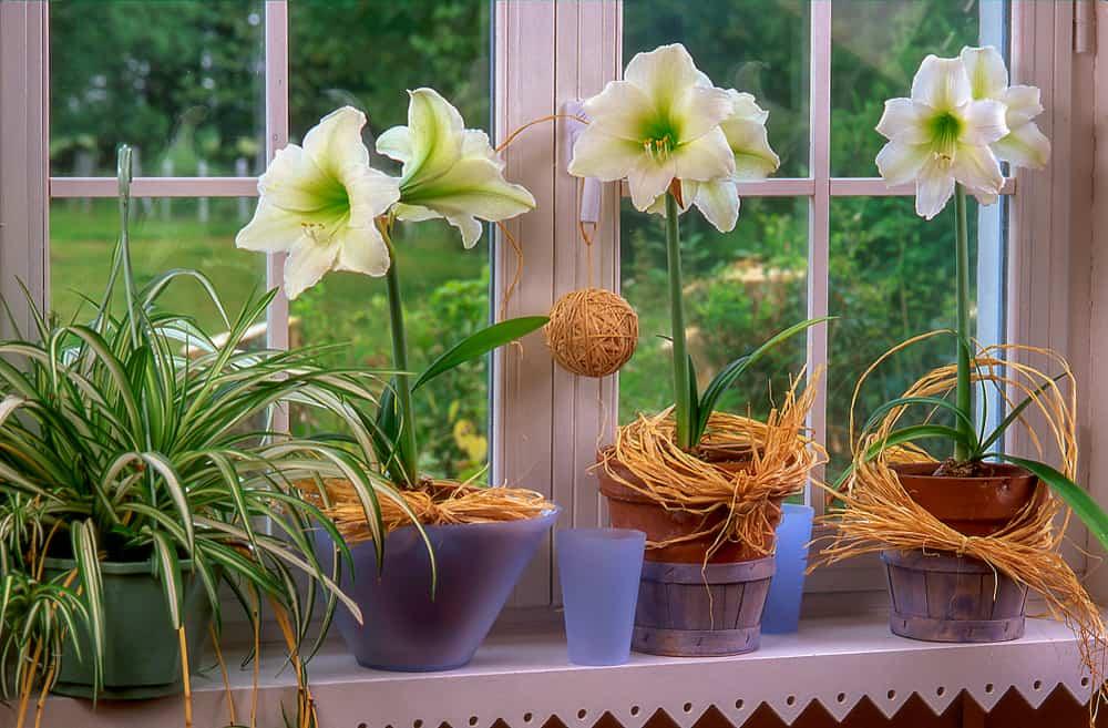 flowers of amaryllis