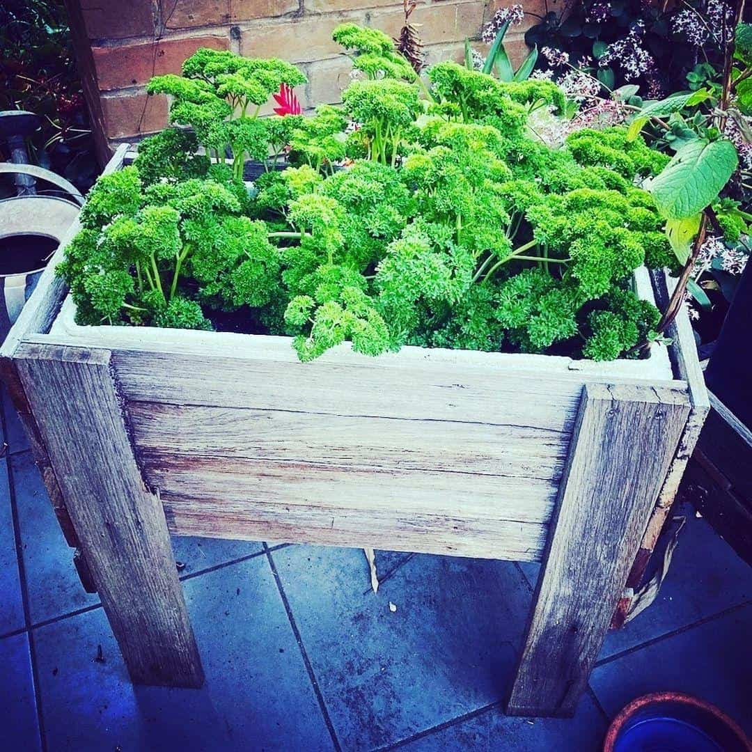 parsley planter box
