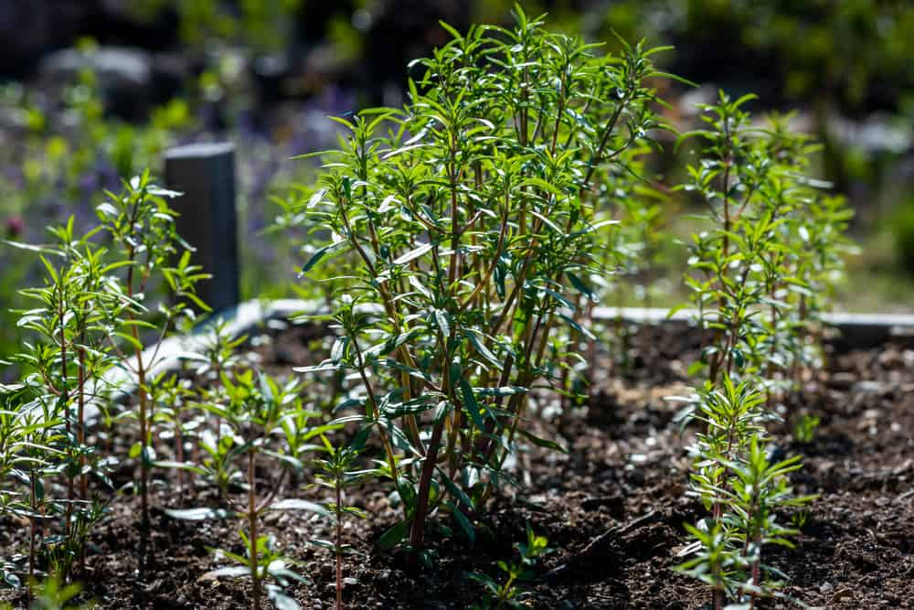 summer savory herb plant